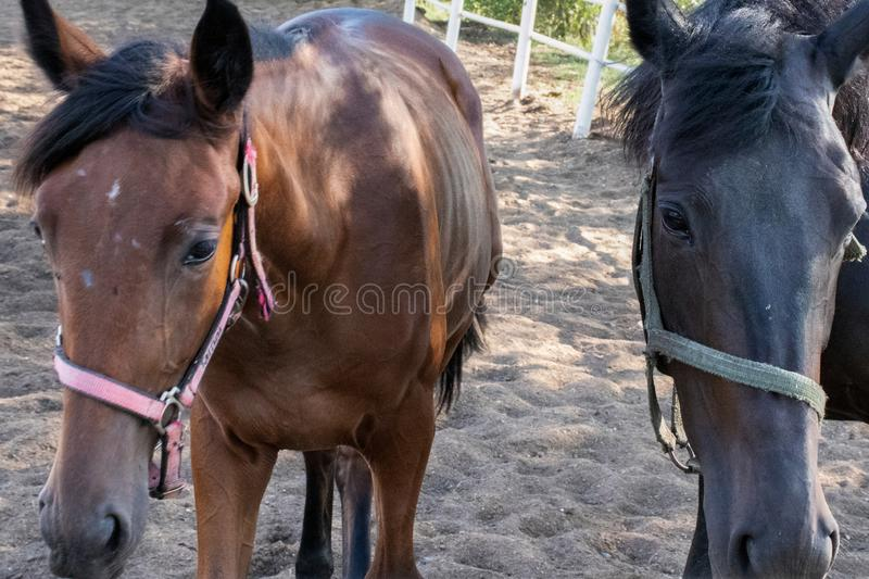 Portrait of a pair of black and brown horses royalty free stock images