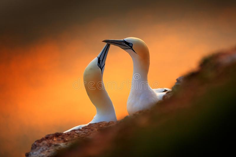Portrait of pair of Northern Gannet, Sula bassana, evening orange light in the background. Two birds love in sunset, animal love b. Ehaviour stock image
