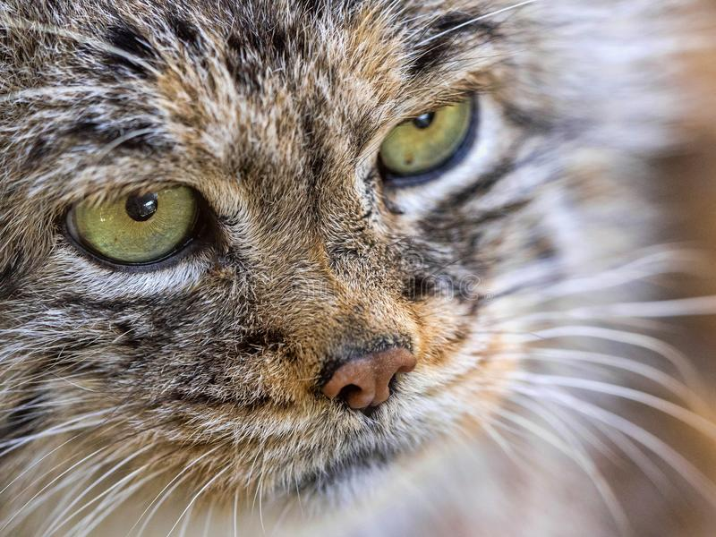 Portrait of Pallas` cat, Otocolobus manul, a beautiful mountain cat royalty free stock photography