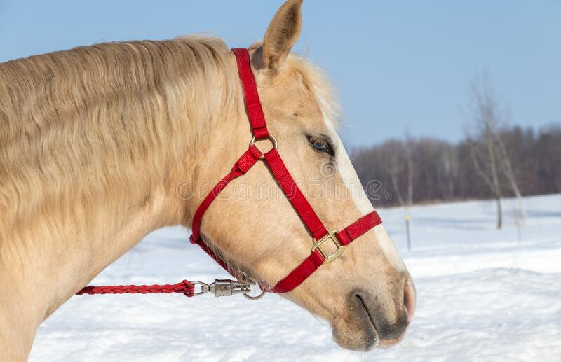 Portrait palomino male horse outside in winter season royalty free stock photography