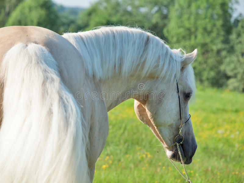 Portrait of palomino welsh cob.  royalty free stock images