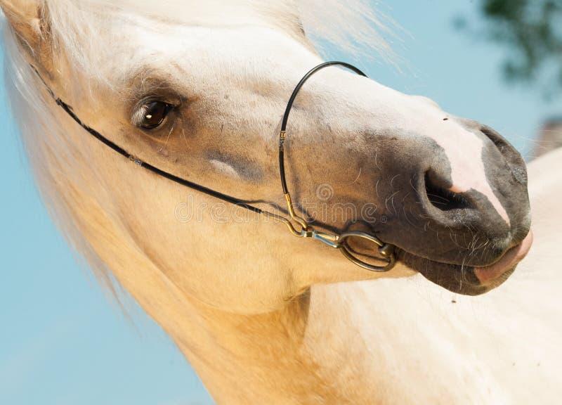 Portrait of palomino welsh cob.  royalty free stock photo