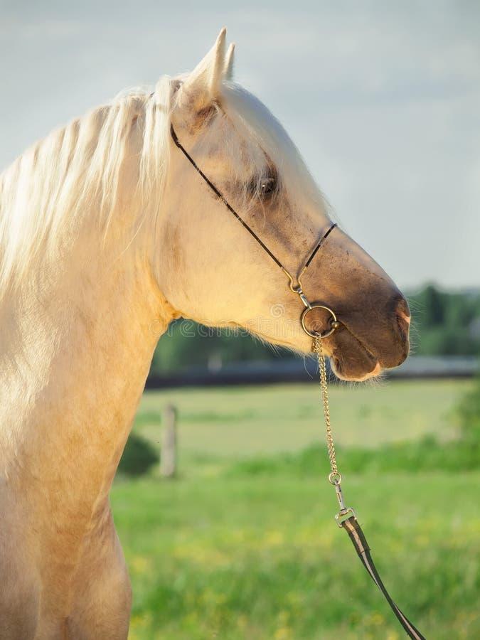 Portrait of palomino welsh pony. Portrait of palomino welsh cob stock photography