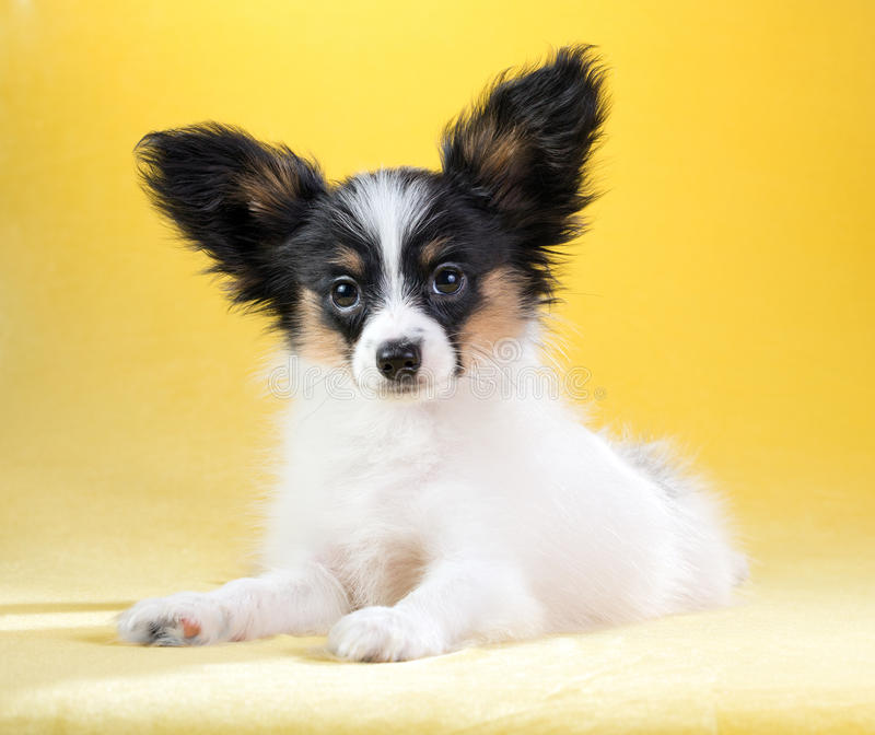 Portrait of a Papillon puppy. Cute puppy of the Continental Toy spaniel - Papillon - on a yellow background stock photography