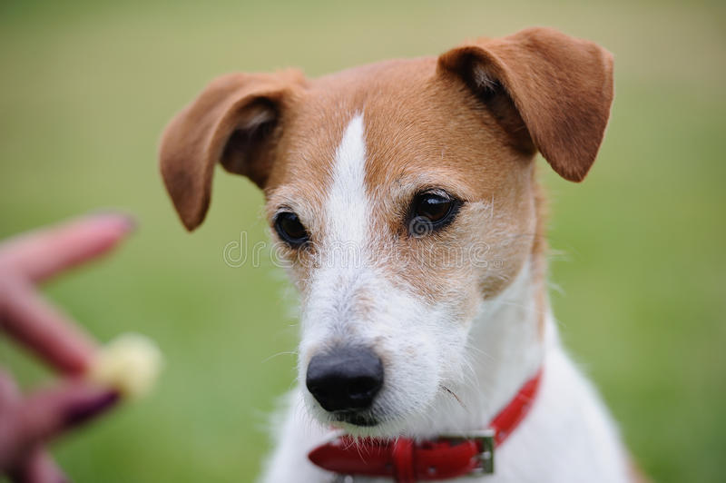 Portrait of Parson Jack Russell Terrier and treat royalty free stock images