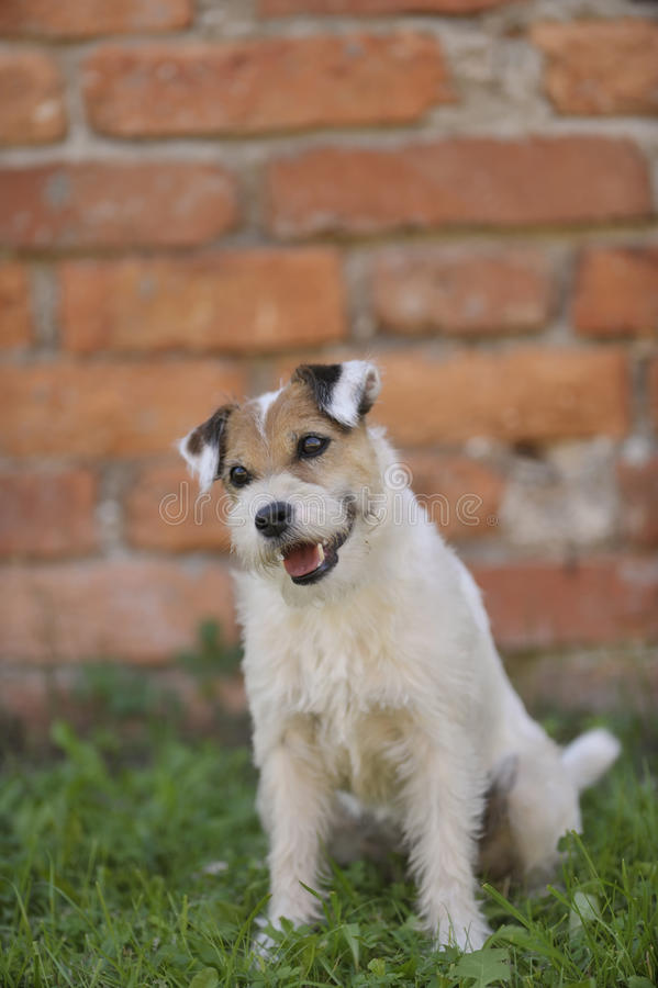 Portrait of Parson Russell terrier stock image