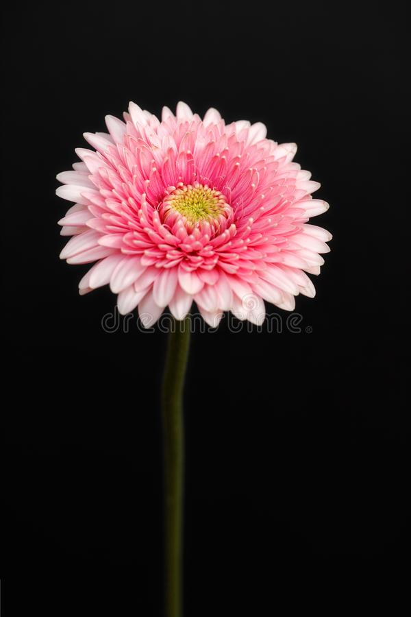 Portrait of pastel rosa gerbera flower on the black background. Macro photography of nature stock image