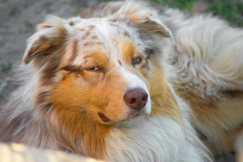 Portrait of a pedigree stately dog happy smiling Australian Shepherd purebred Aussie walks in the park royalty free stock photo