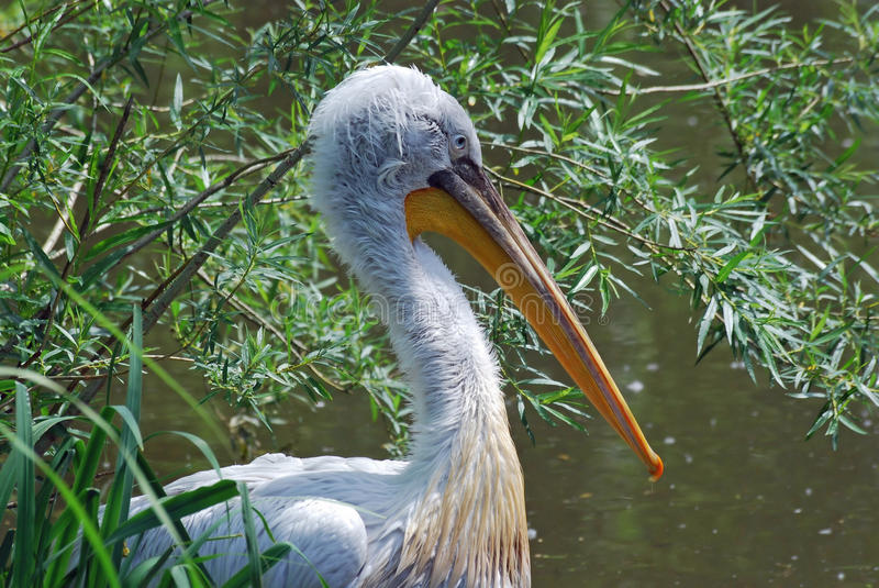 Portrait of a pelican. With shrubs stock photography