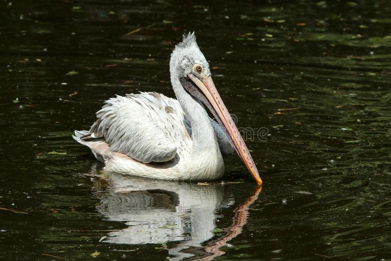The portrait of a pelican stock image