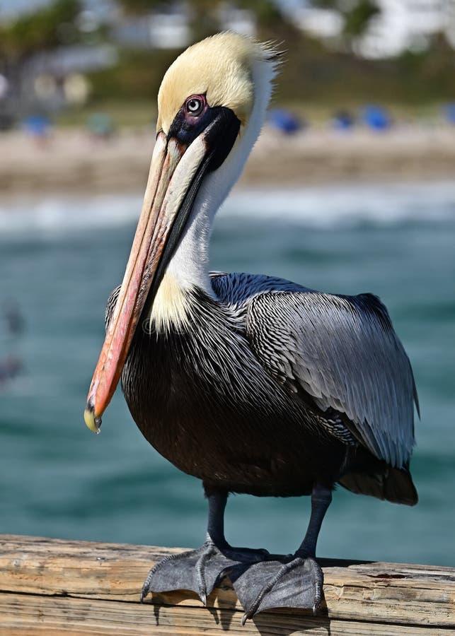 Portrait of a Pelican. stock photo