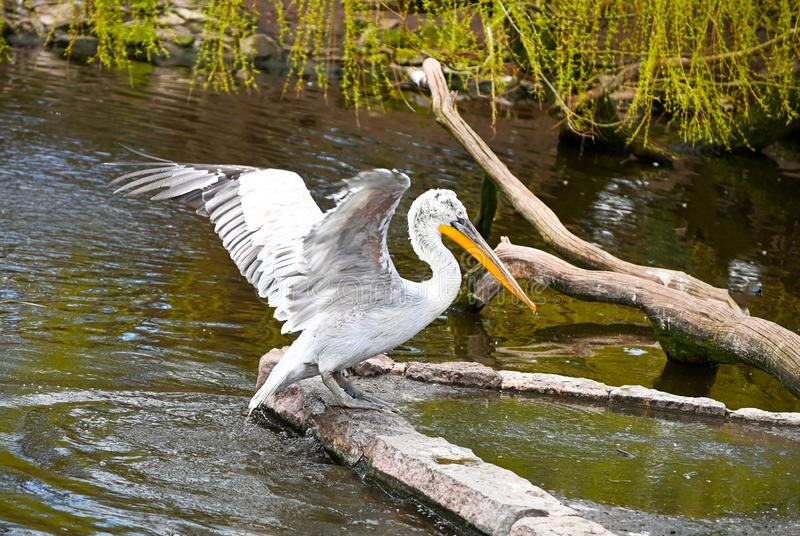 Portrait of a pelican in a swamp stock image