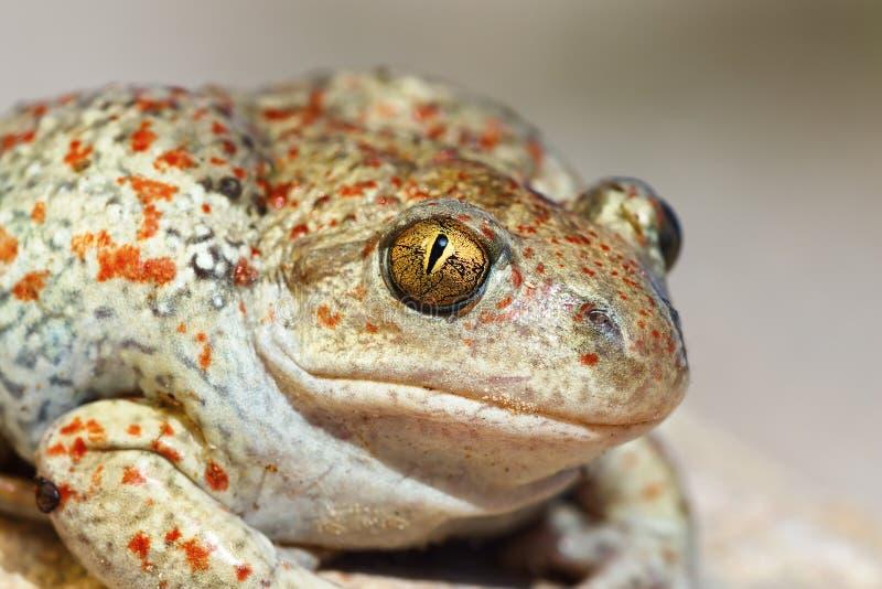 Portrait of Pelobates fuscus. Colorful wild garlic toad, macro image stock images