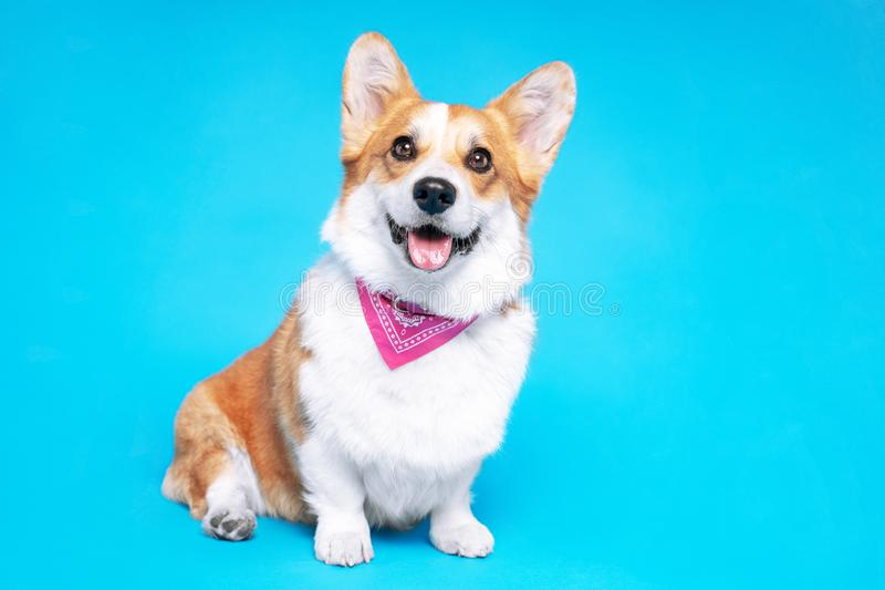 Portrait of a pembroke welsh corgi dog wearing pink bandana tie looking at the camera with mouth open seen from the front on a blu. E background stock image