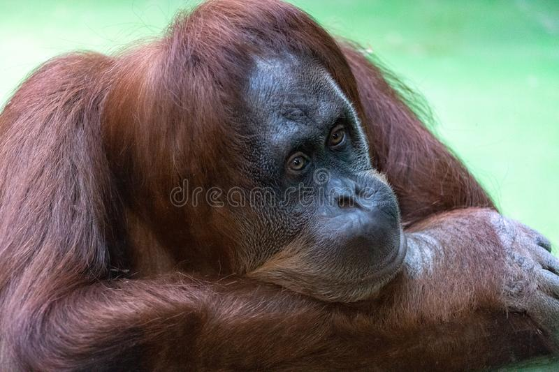 Portrait of a pensive orange orangutan with a funny face lazily watching what is happening stock image