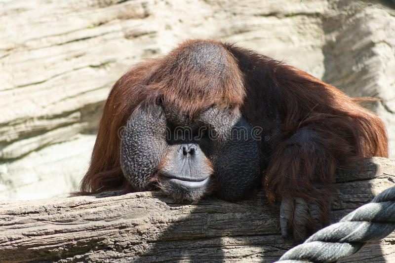 Portrait of a pensive orange orangutan with a funny face lazily watching what is happening royalty free stock photos