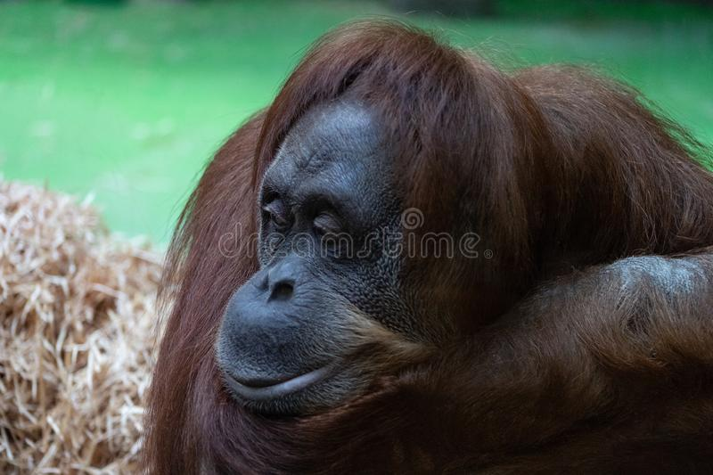 Portrait of a pensive orange orangutan with a funny face lazily watching what is happening stock photography