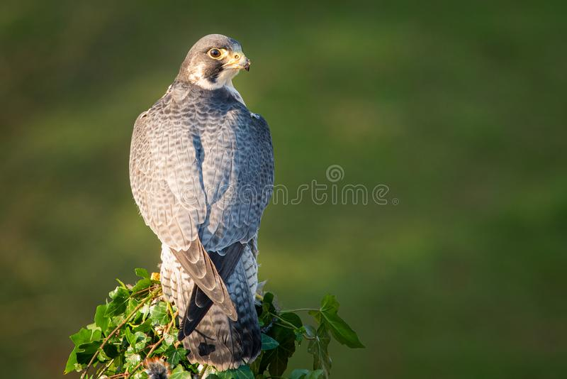 Portrait of a peregrine falcon royalty free stock image