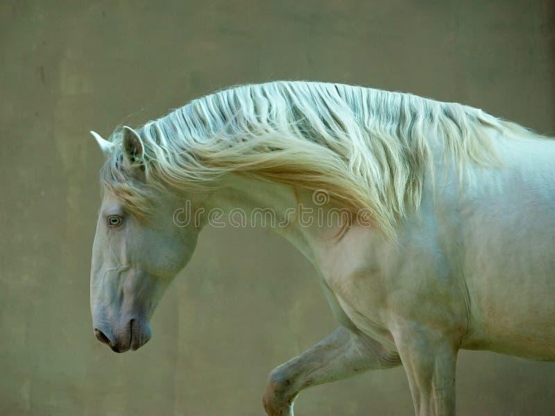 Portrait of perlino lusitano horse stock photo