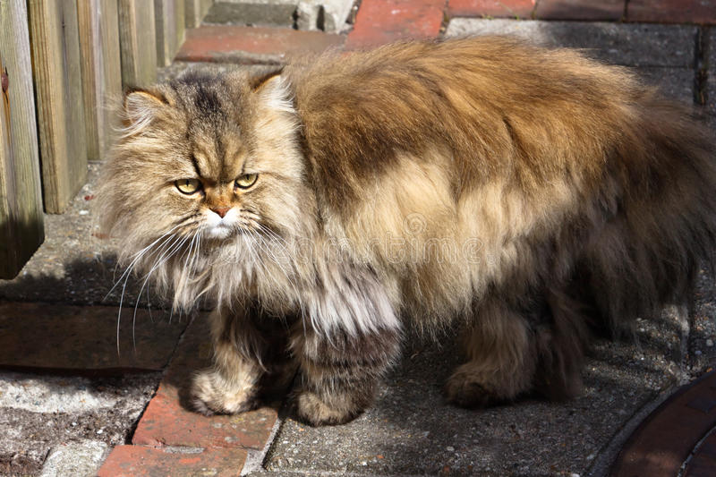 Download Portrait of a Persian Cat stock photo. Image of longhair - 19392258