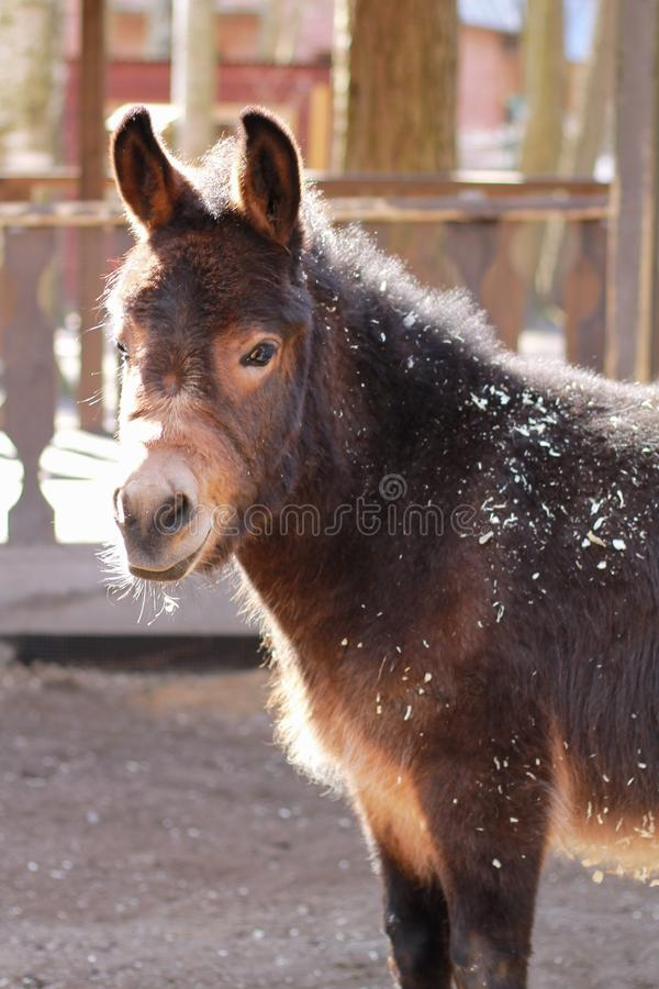 Portrait of pet donkey closeup stock image