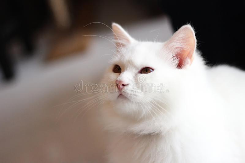 Portrait pet of a white cat playing in the living room home / Close up of beautiful and cute White Persian Cat. Selective focus stock image