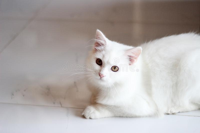 Portrait pet of a white cat playing in the living room home / Close up of beautiful and cute White Persian Cat. Selective focus stock photo