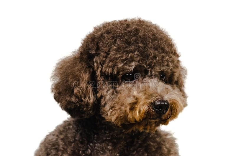Portrait photo of an adorable black toy Poodle dog on white background royalty free stock images
