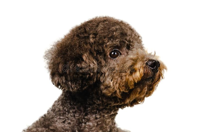 Portrait photo of an adorable black toy Poodle dog on white background royalty free stock photo