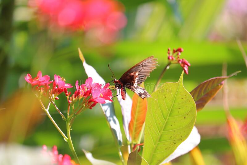 Portrait photography of black butterfly on spring red flowers in desert thar. Butter fly eyes, insect wings royalty free stock image