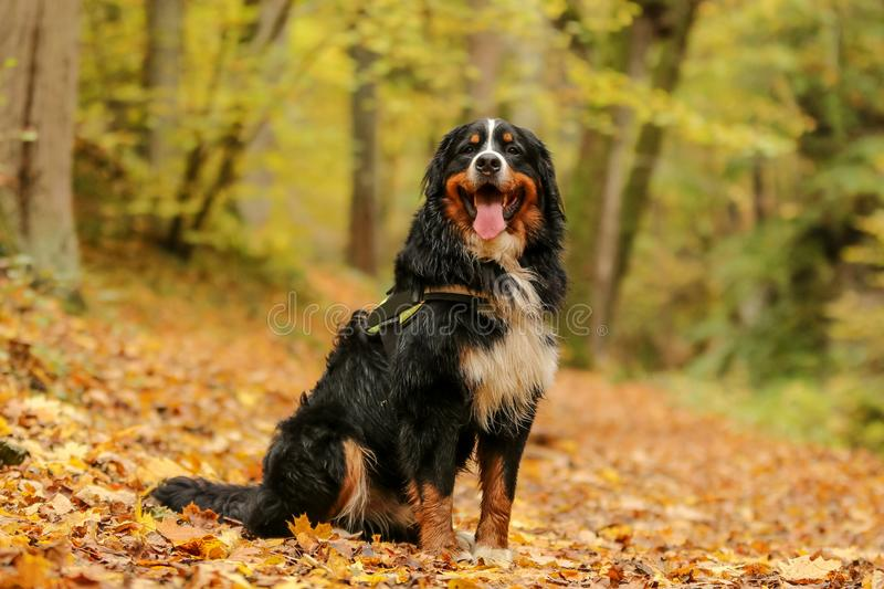 Portrait picture of the Bernese mountain dog stock images