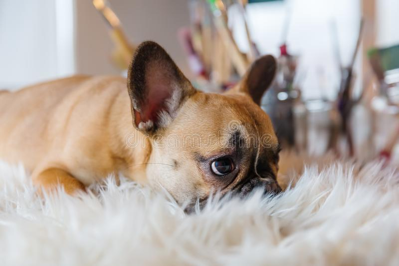 French Bulldog puppy lies on a fur carpet royalty free stock image