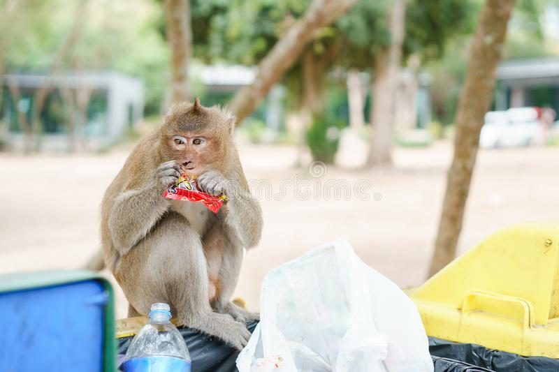 Portrait picture of monkey eating candy  the bin in the natural environment. Monkey is funny and happy and enjoy eating royalty free stock images