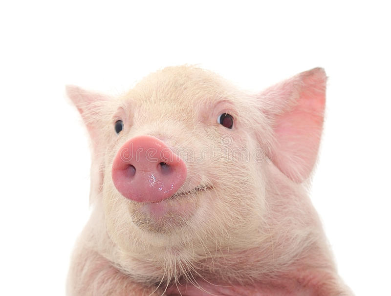Portrait of a pig. Portrait of a cute pig, on white background