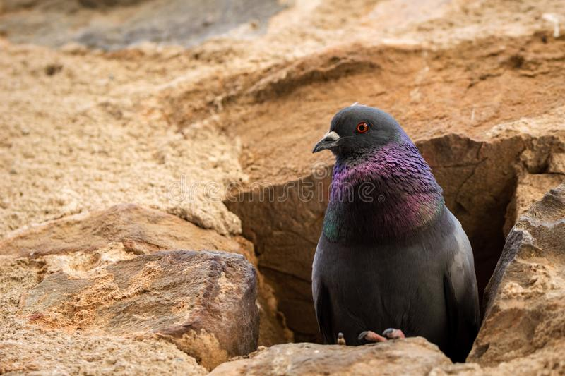 Portrait of a pigeon nesting in a hole in an old stone wall stock photography