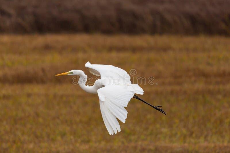 Portrait pilotant le grand egretta blanc d'oiseau de héron alba en roseau, s image libre de droits