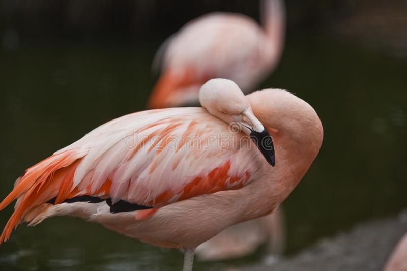 Portrait of a Pink Flamingo Resting stock image