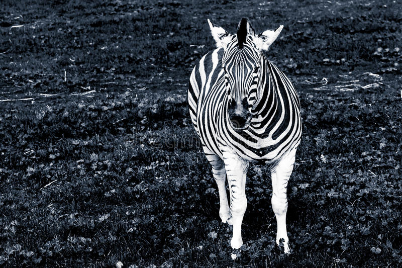 Portrait of the Plains Zebra in black and white. royalty free stock photography