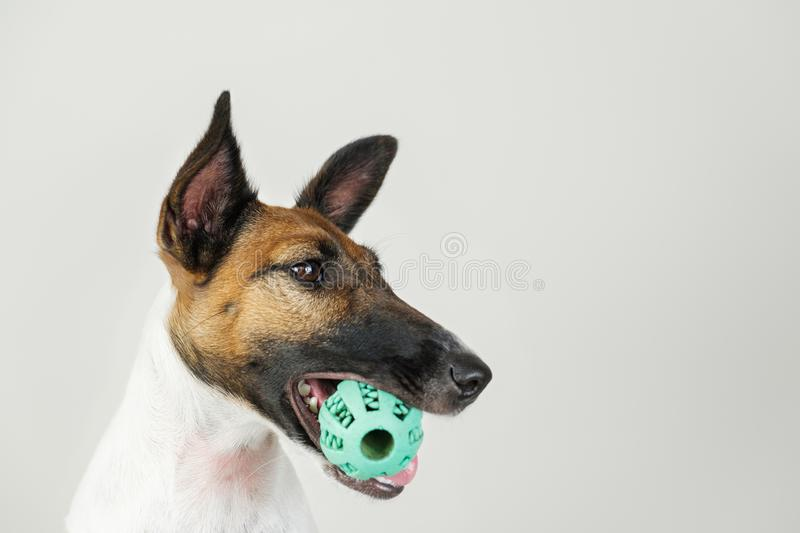 Portrait of playful fox terrier puppy with a ball in mouth. royalty free stock image