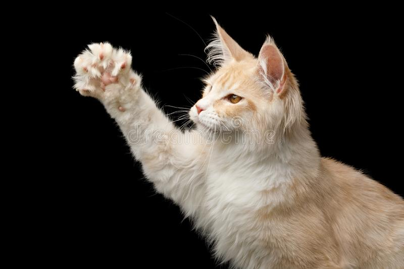 Huge Maine Coon Cat Isolated on Black Background. Portrait of Playful Red with white Maine Coon Cat Raising paw Isolated on Black Background, profile view stock photo