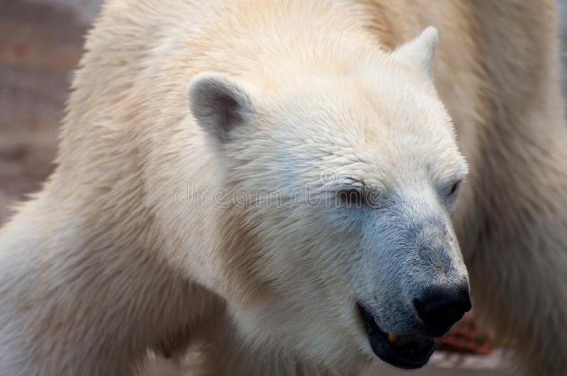 Portrait of a polar bear stock image