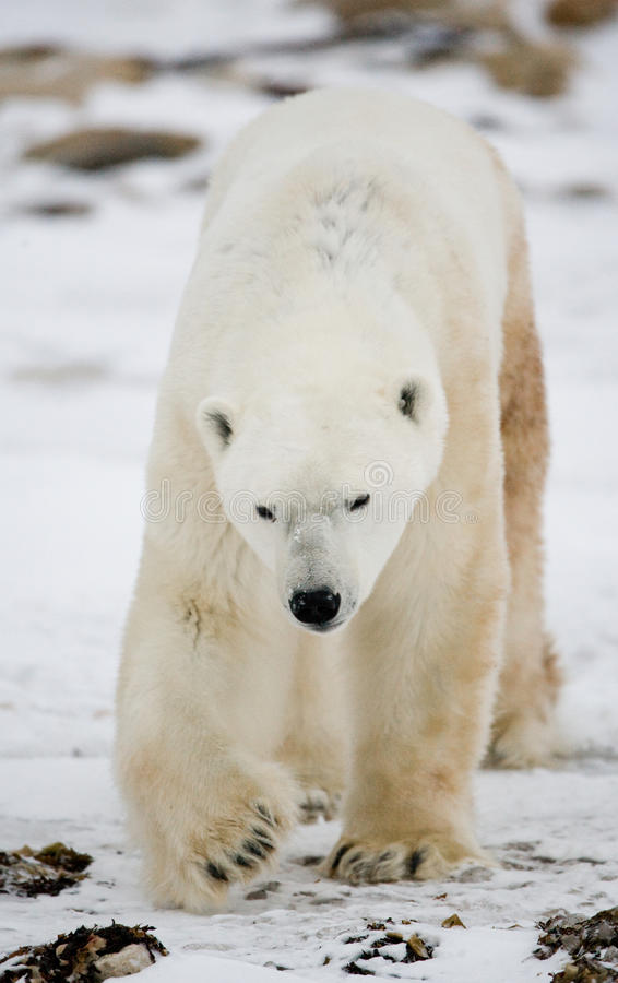 Portrait of a polar bear. Close-up. Canada. stock images