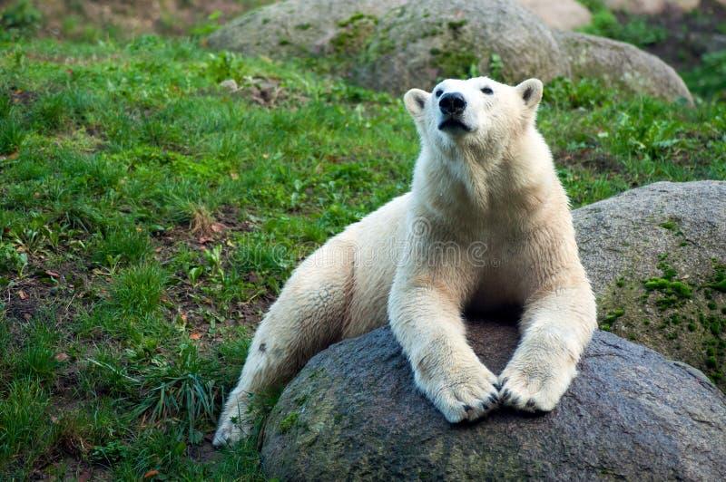 Polar bear lying on the rock. Portrait of polar bear lying on the rock royalty free stock image