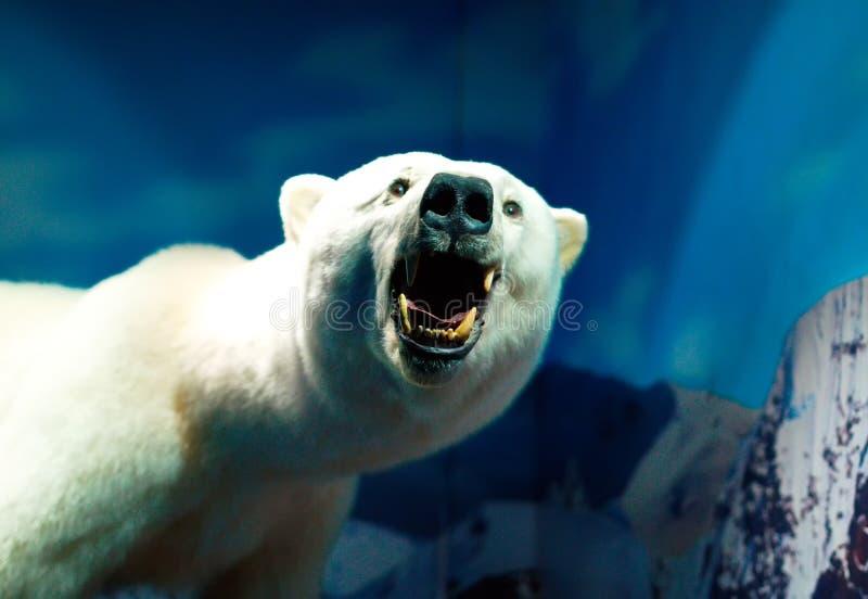 Portrait of a Polar Bear. Stuffed polar bear in the aquarium royalty free stock images