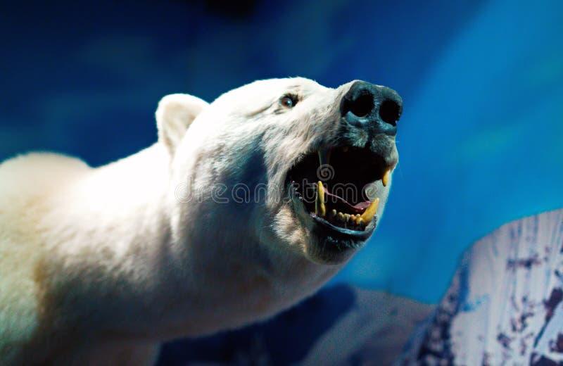 Portrait of a Polar Bear. Stuffed polar bear in the aquarium royalty free stock image
