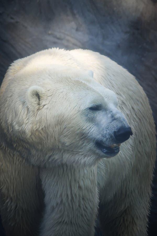 Portrait of polar bear at the zoo. Polar bear at the zoo. An animal in captivity. Northern Bear stock images