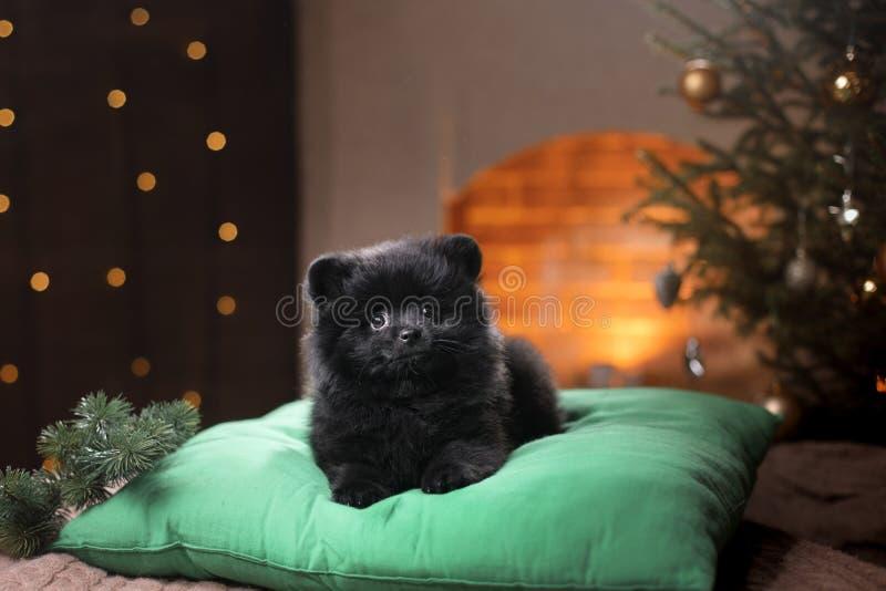 Portrait pomeranian allemand de chien Bonne année, Noël, animal familier dans la chambre l'arbre de Noël photographie stock libre de droits