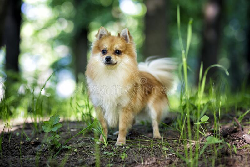 Cute Pomeranian dog stock image