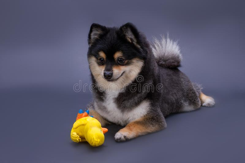 Portrait of pomeranian spitz with toy. Black and white fluffy spitz lying with rubber yellow duck toy on dark gradient background, studio shot. Playful royalty free stock images