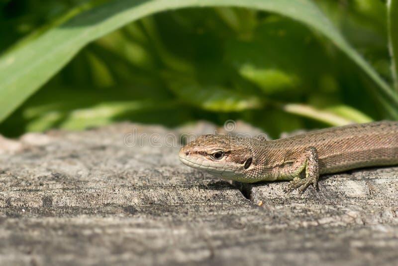 Portrait of the Pontic lizard Darevskia pontica Rock lizards royalty free stock images